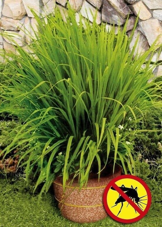 Plant lemongrass to repel mosquitoes and other great backyard ideas