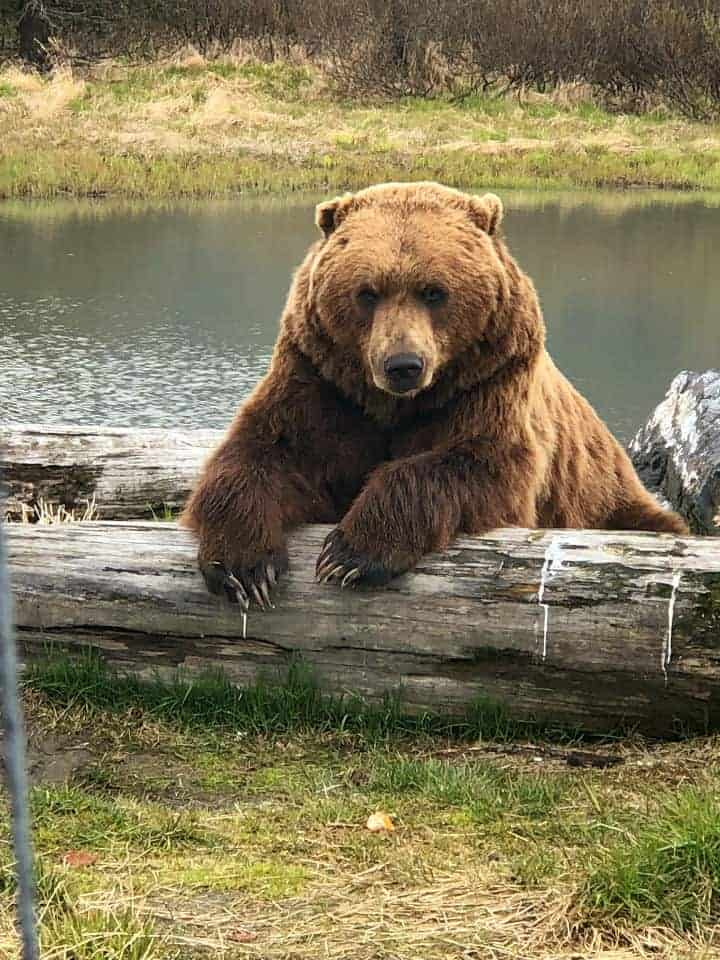 Big Brown Bear in front of lake