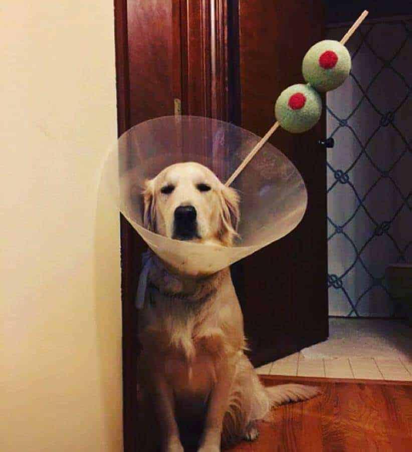 Hilarious cone of shame dog Halloween costume